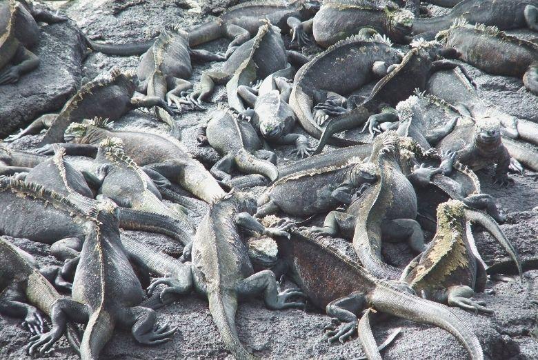 marine iguanas in the galapagos