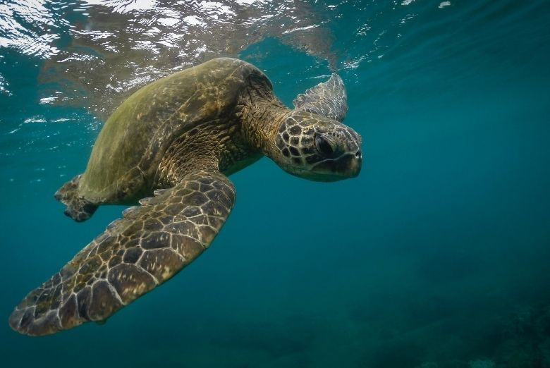 snorkeling with green sea turtle
