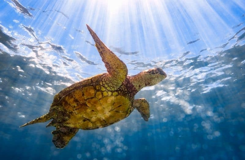 green sea turtle at Kaiona Beach Park