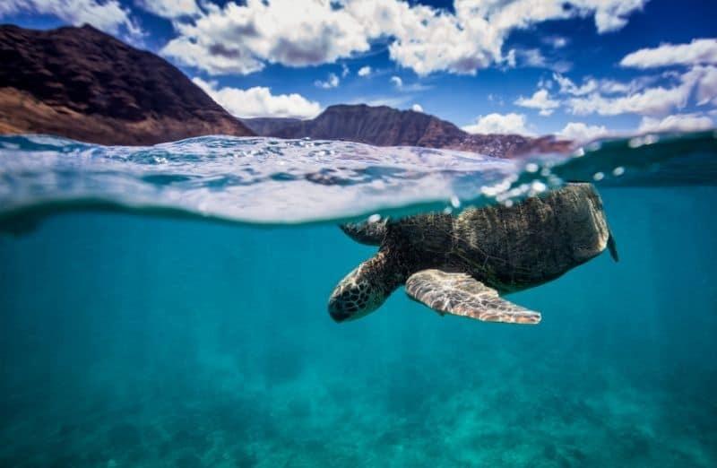 green sea turtle snorkeling makaha beach
