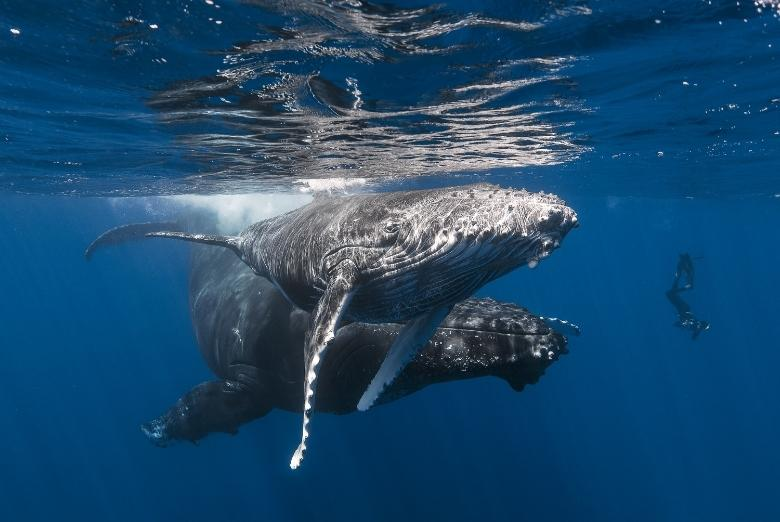 humpback whales silver bank